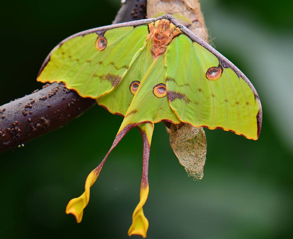 African Moon Moth - Nature
