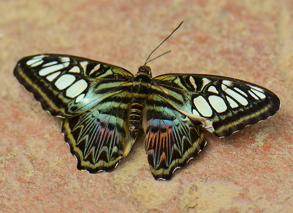 Clipper, Parthenos sylvia