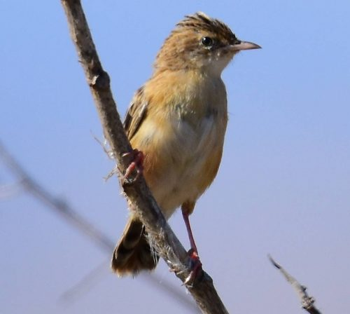 Zitting-Cisticola-Sept24th-1