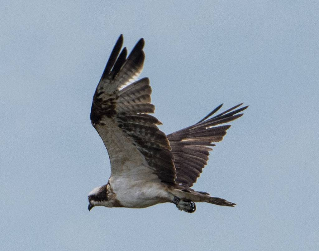 And in swooped an Osprey