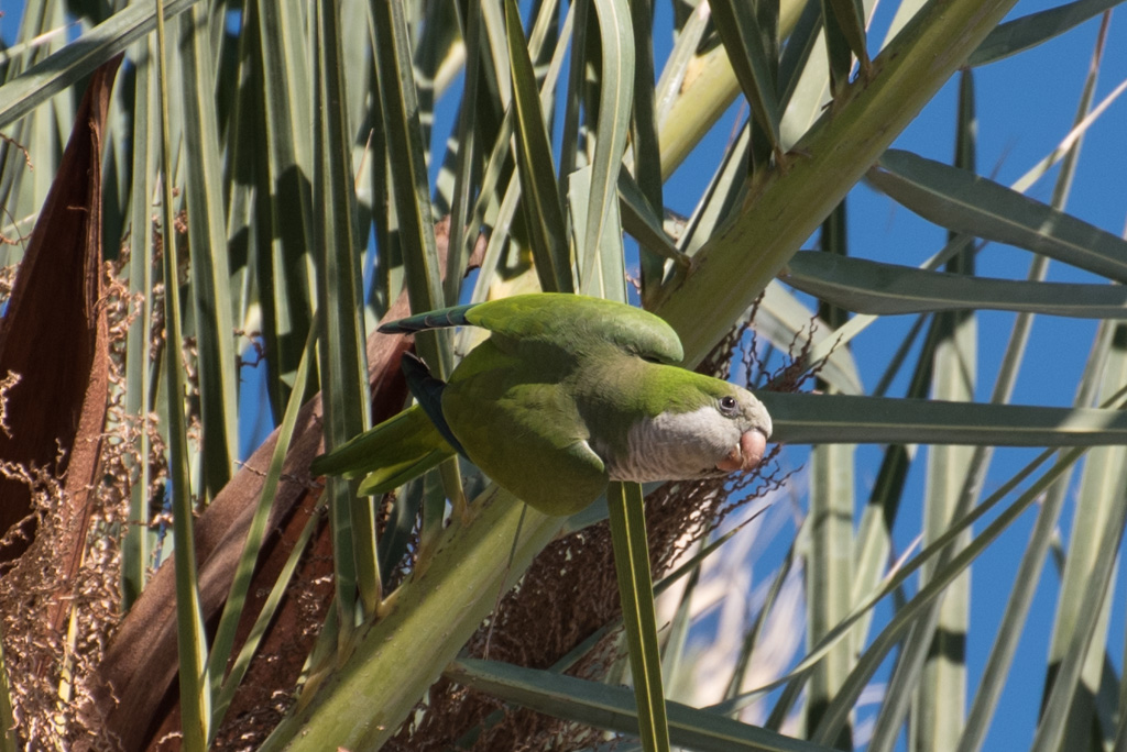 Parakeets in the palms