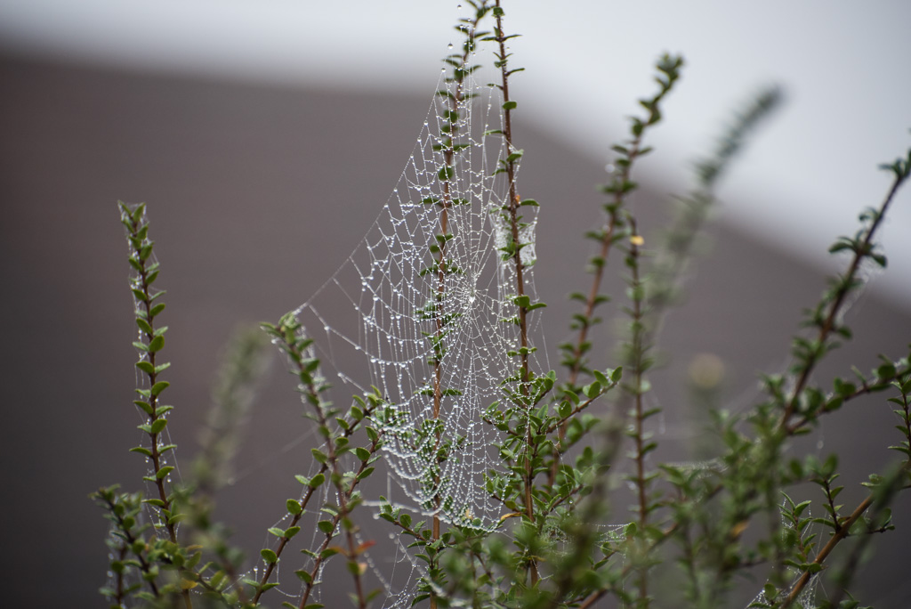 Dew-covered spider webs