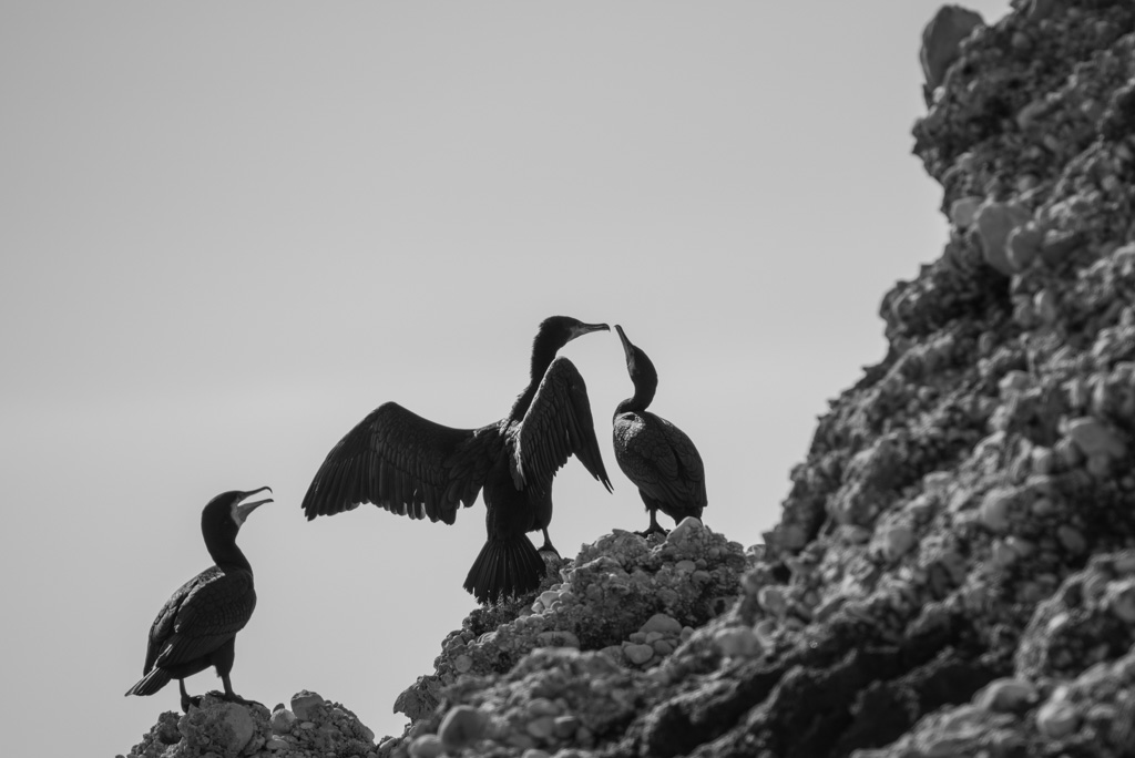 Cormorants, Wagtails and others
