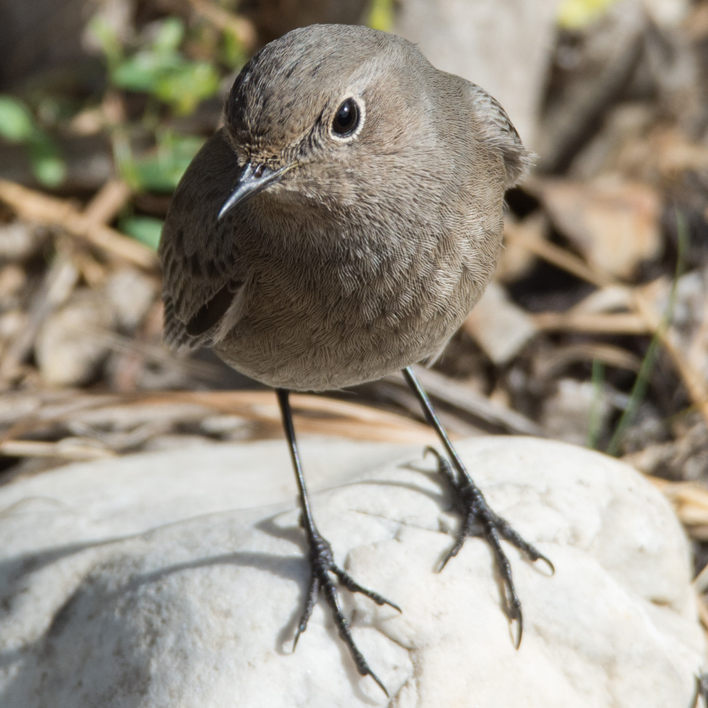 Black Redstarts by the score