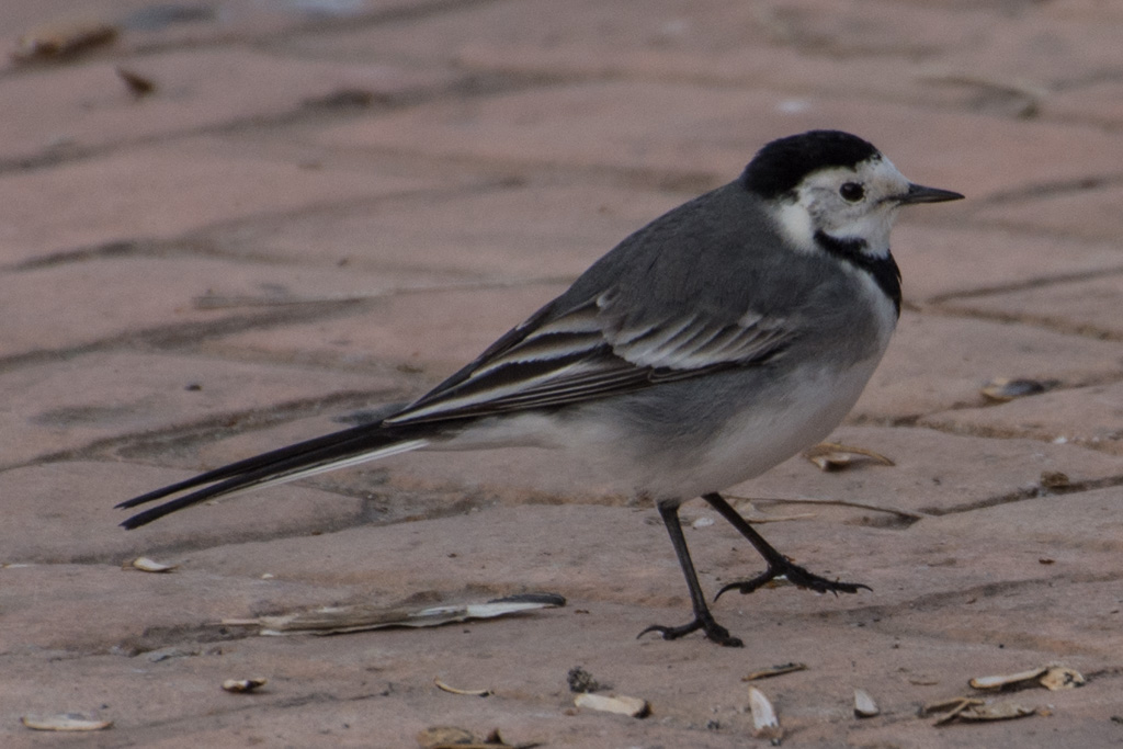 Wagtail, Nerja