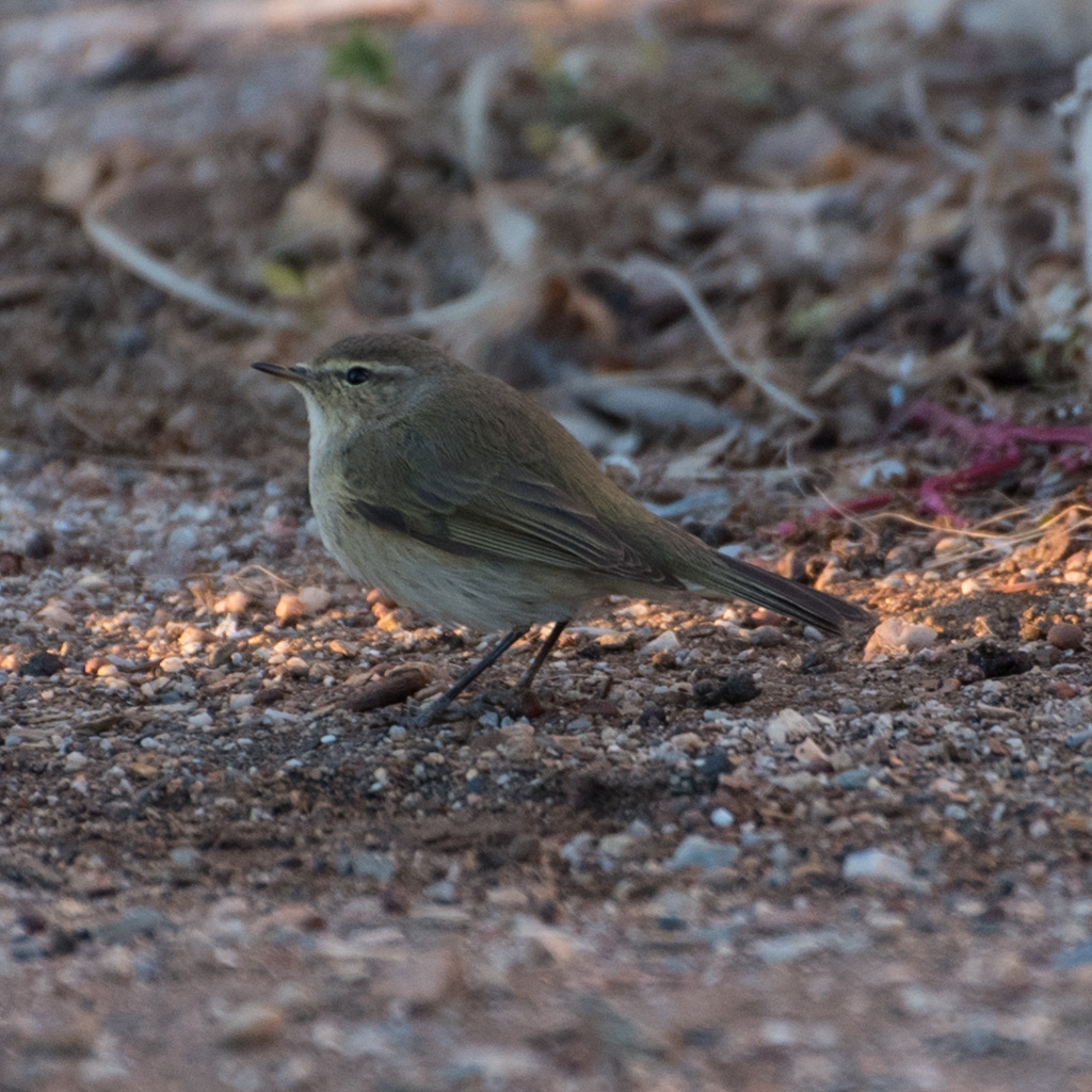 Friendly Chiffchaffs and Sparrows