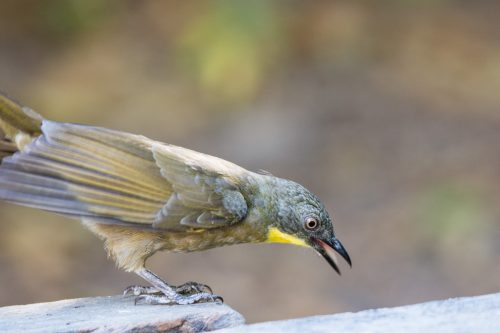 Yellow-throated Leaflove, Gambia