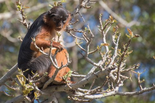 Western Red Colobus, Gambia