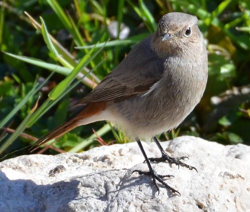 Black Redstart, female