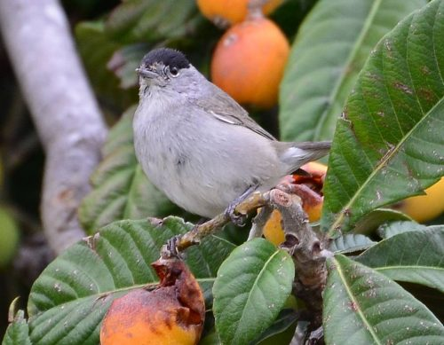 Blackcap, March 31st