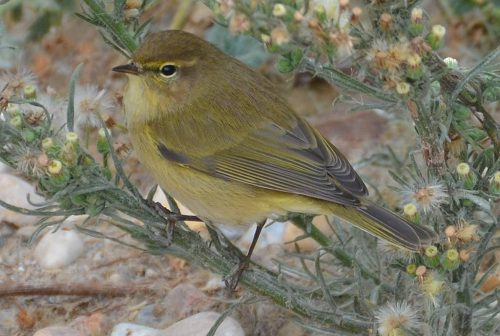 Bonelli's Warbler Dec 18th 2013