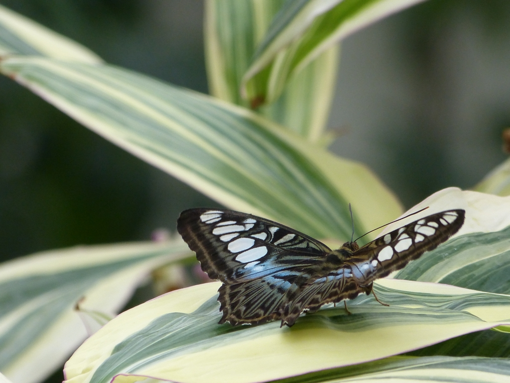 Clipper, blue sub-species
