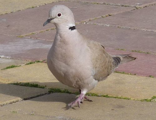 Collared Dove, Nerja