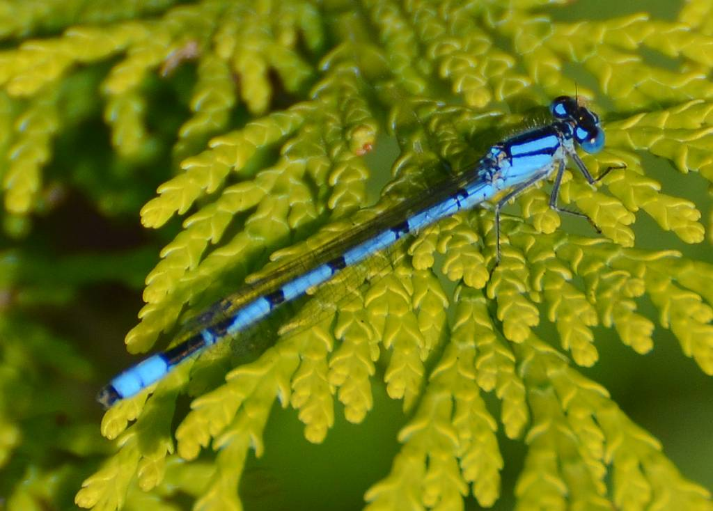 Common Blue Damselflies in the morning