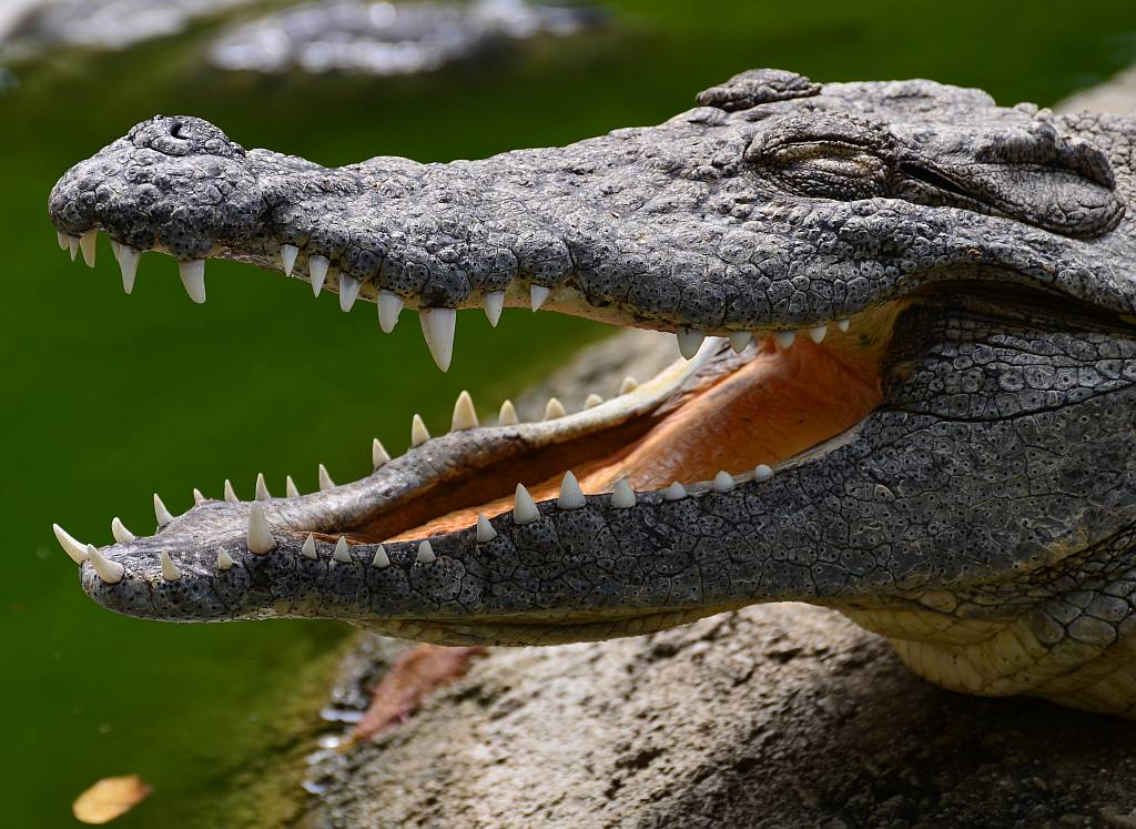 Nile crocodiles | | Nature