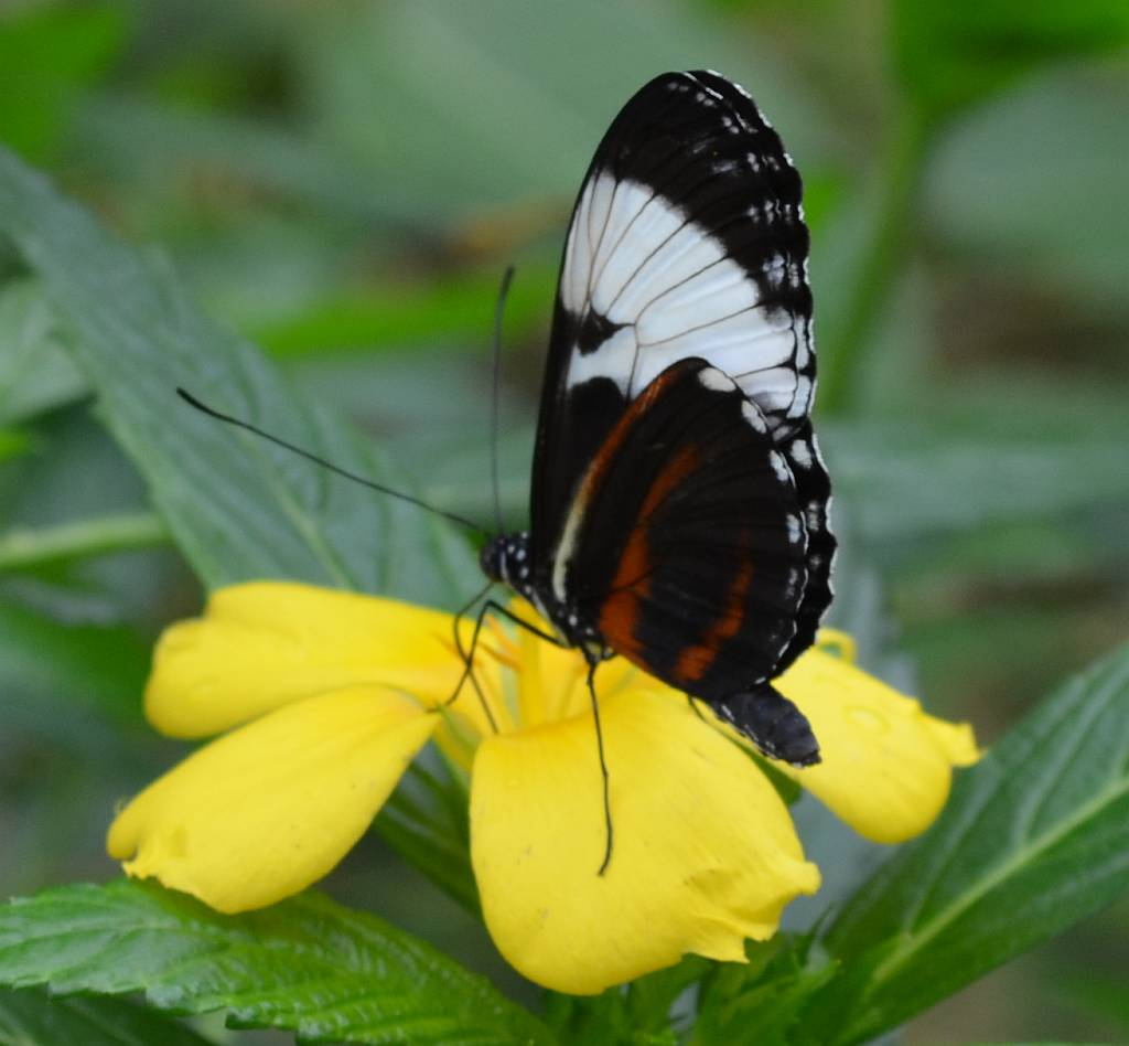 Cydno Longwing butterfly