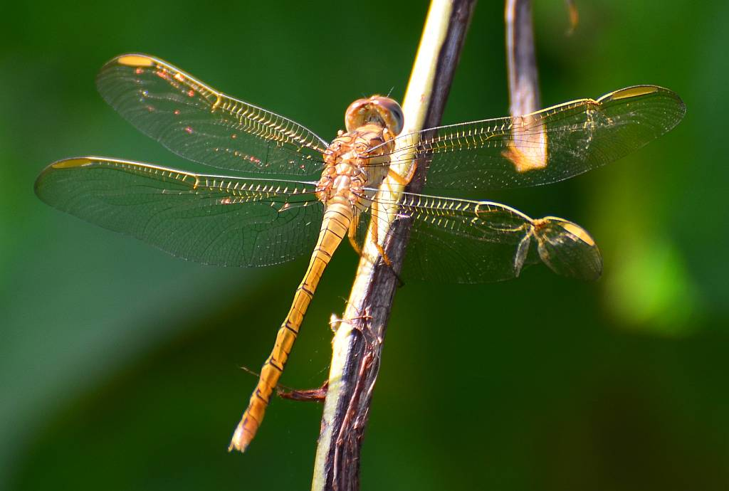 Some different Dragonflies, Part I