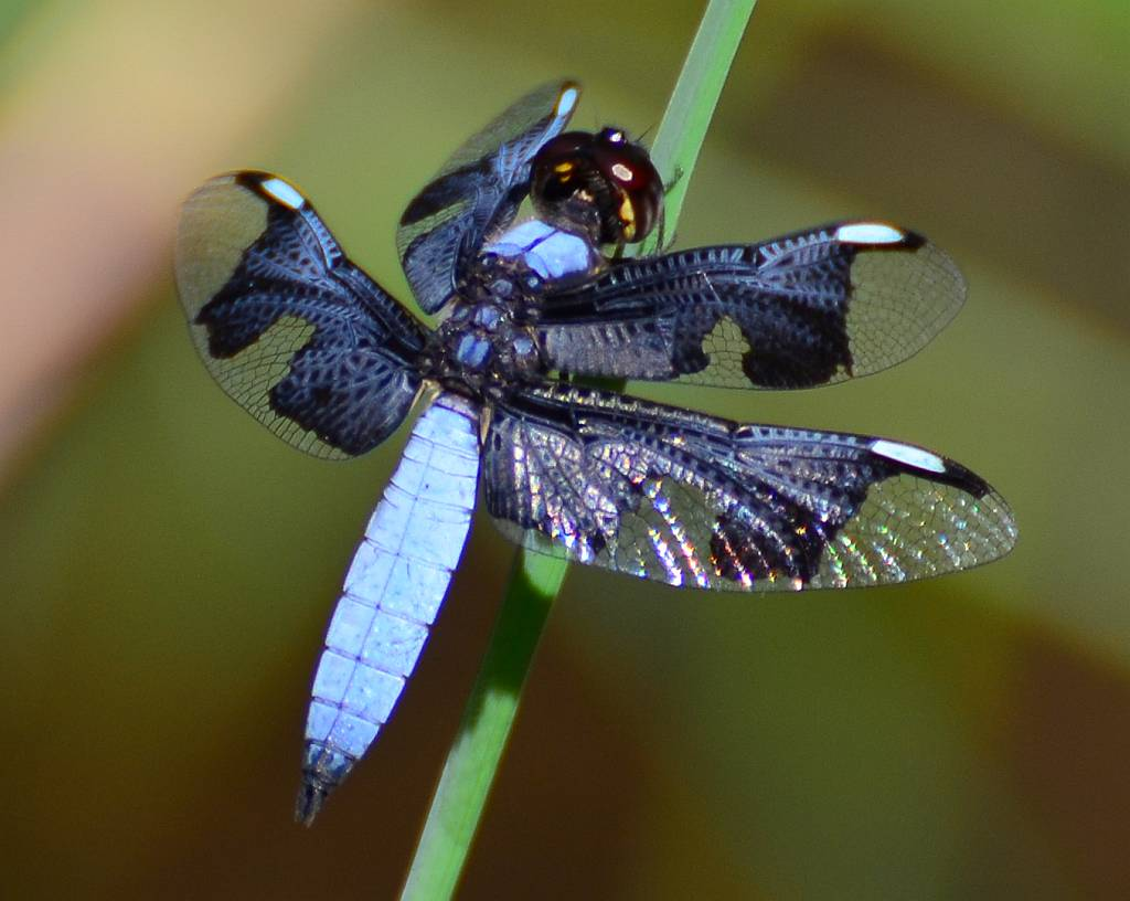 Some different Dragonflies, Part II