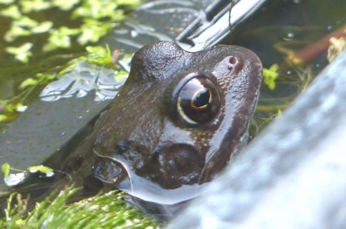 Big Frog in the pond