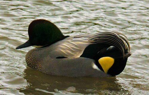 Flacated Duck, Male