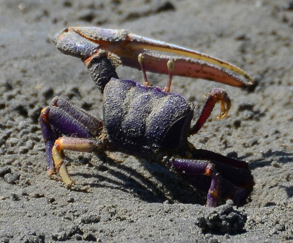 the main features of the crab netula Indecision and delays the main features of the crab netula are the parents of failure the site contains concepts and an analysis of the common law socialist law and.