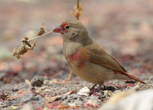 Red-billed Firefinch, female