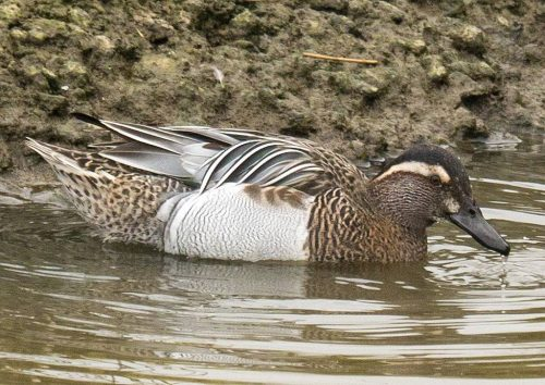 Garganey, Male