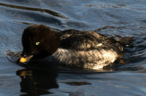 Goldeneye, female