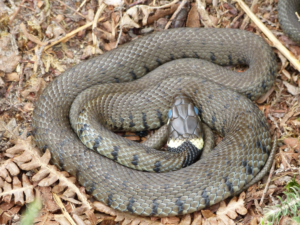 Black Grass Snake Grassland Snakes Images Reverse Search
