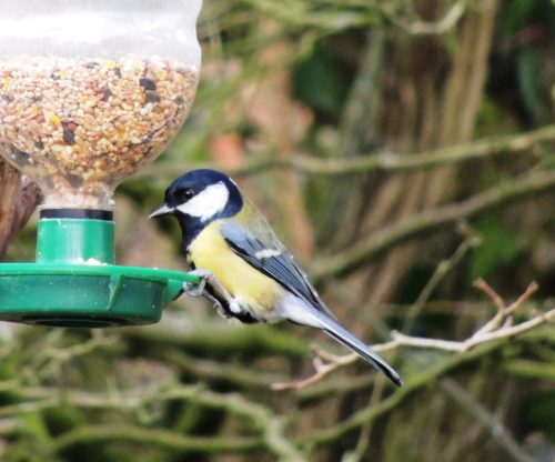 Great Tit, sized