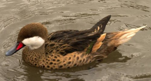 Greater White-cheeked Pintail