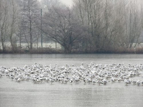 Gulls on the frozen lake
