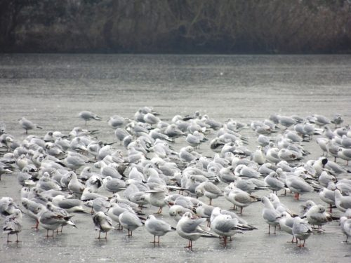 Gulls gathering on the ice