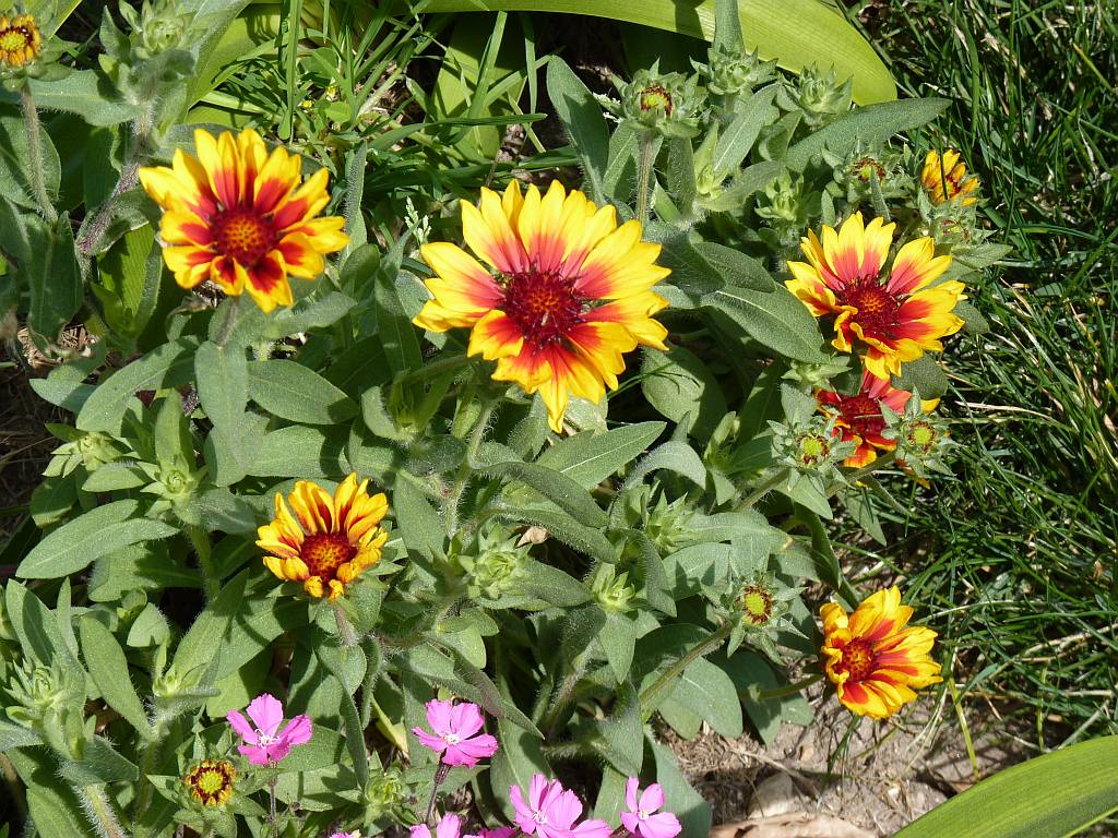Indian blanket flower nerja