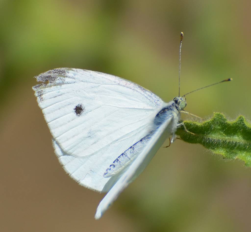White Butterfly, Nerja, june