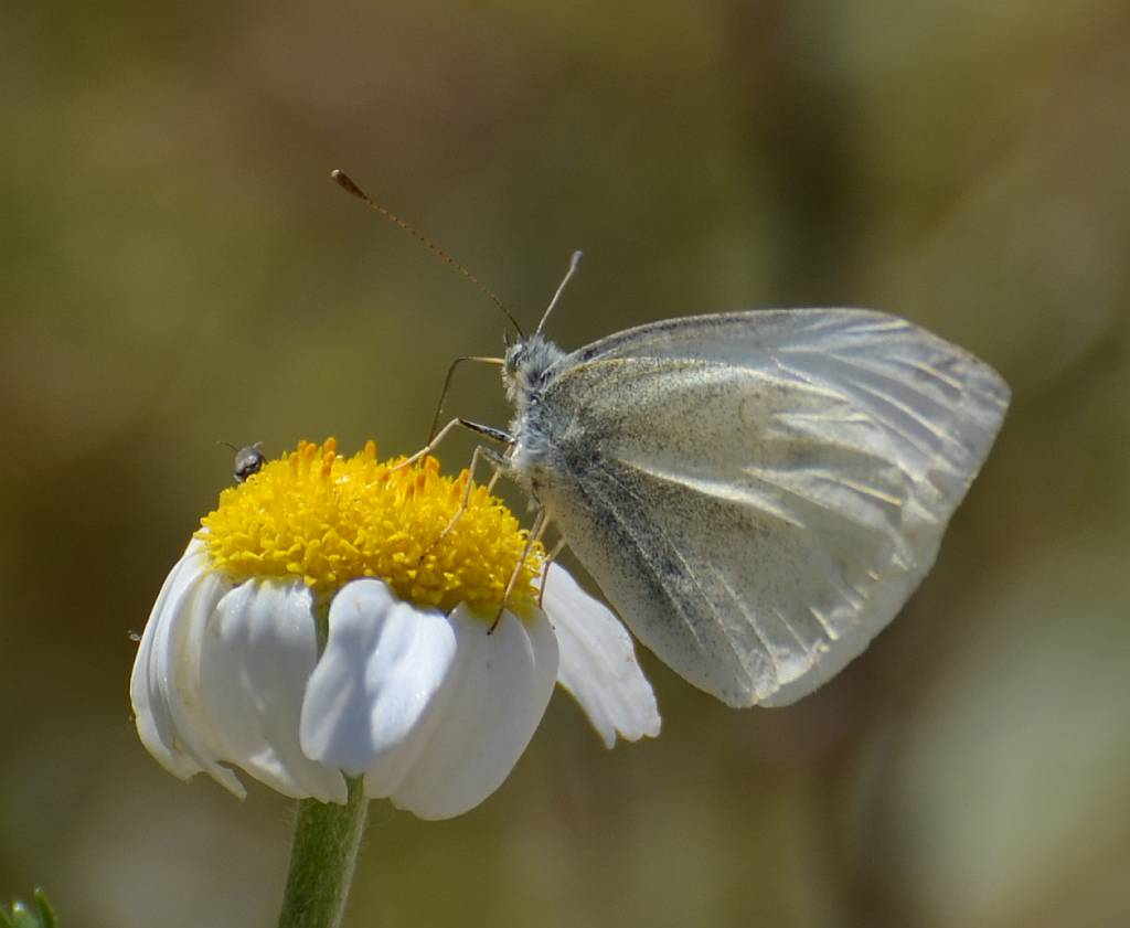 Large White Butterfly, Nerja