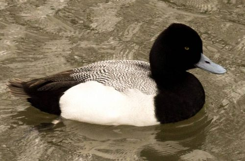 Lesser Scaup, male