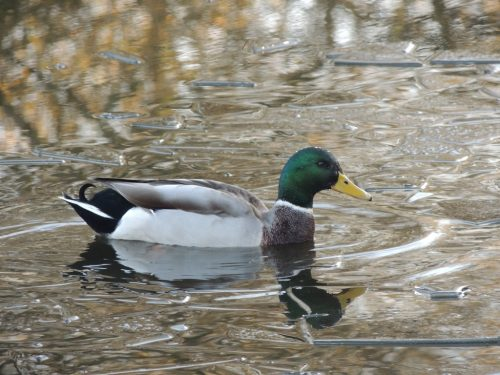 Mallard in the icy lake,