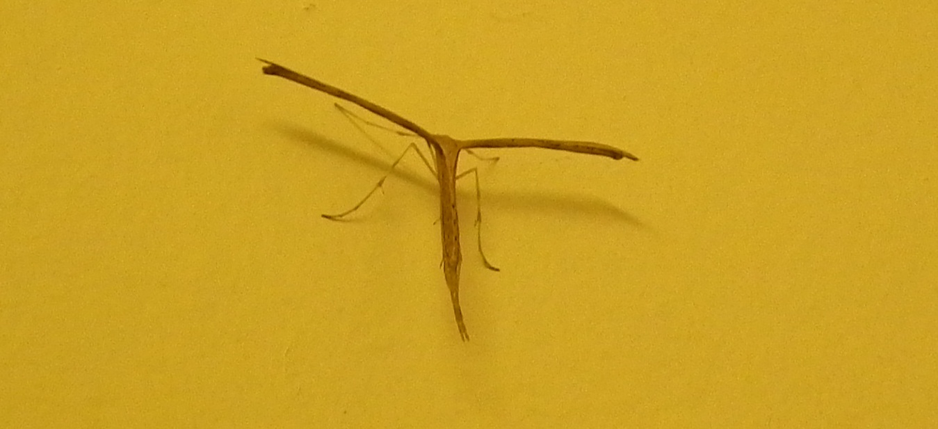Plume Moth on the kitchen wall, early evening