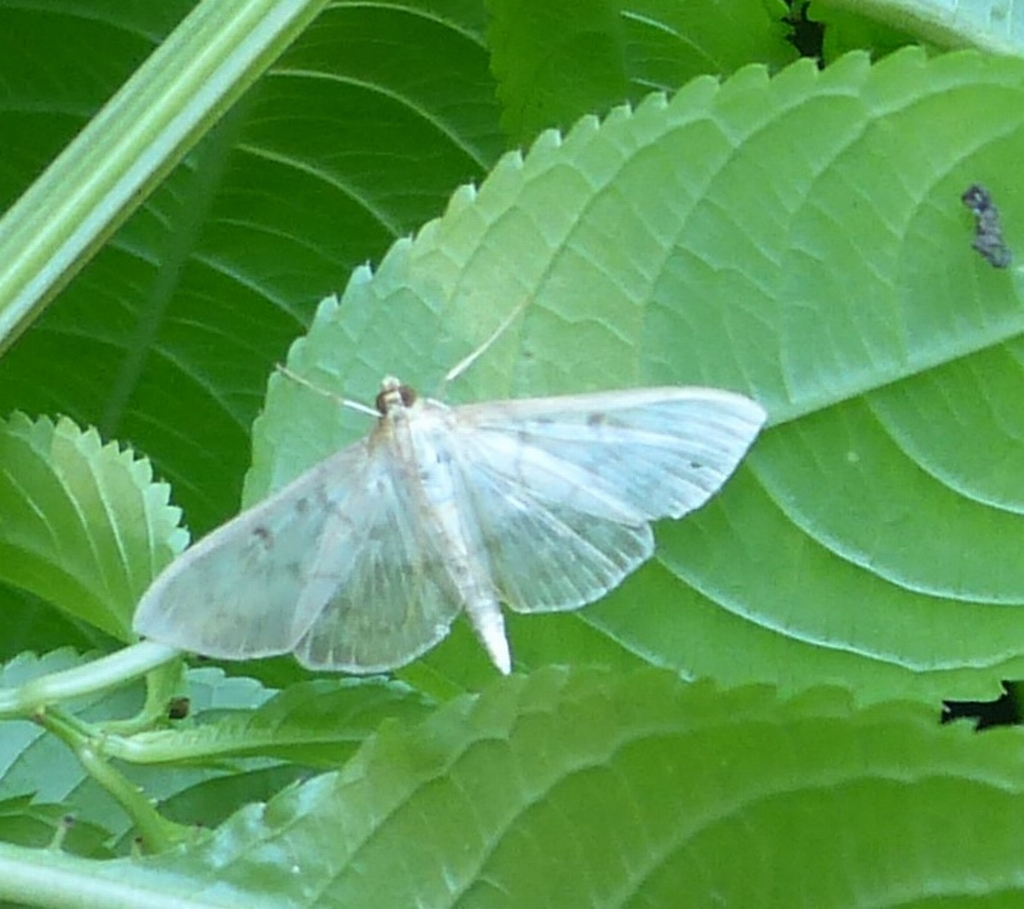 Mother of Pearl Moth