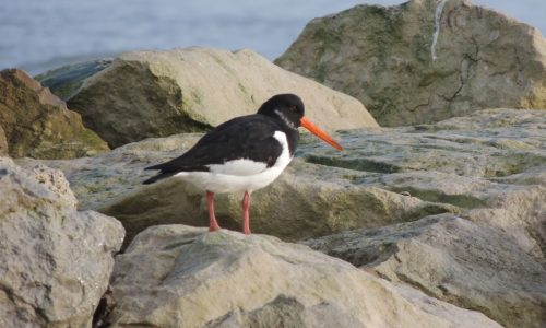 Oystercatcher 3, sized