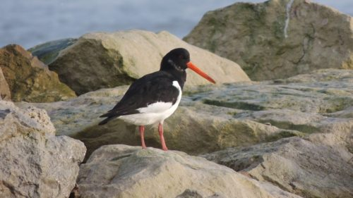 Oystercatcher 4, sized