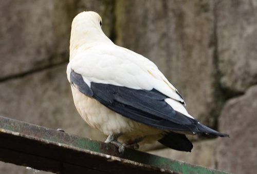 Imperial Pied Pigeon