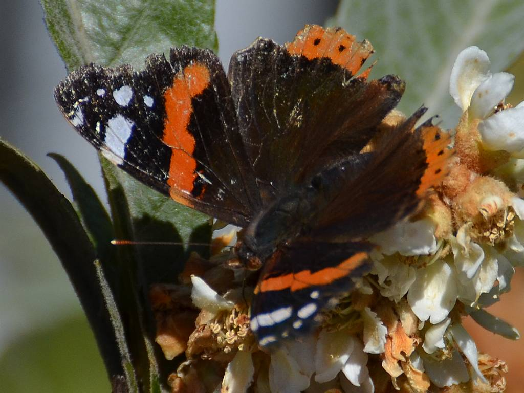 Red Admirals on a warm autumn day