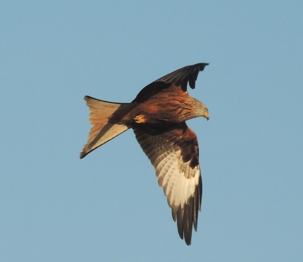 Red Kite over the house u2013 Nature