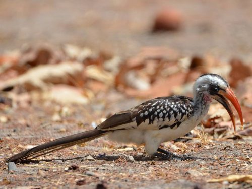 Red-billed Hornbill, Tockus kempi