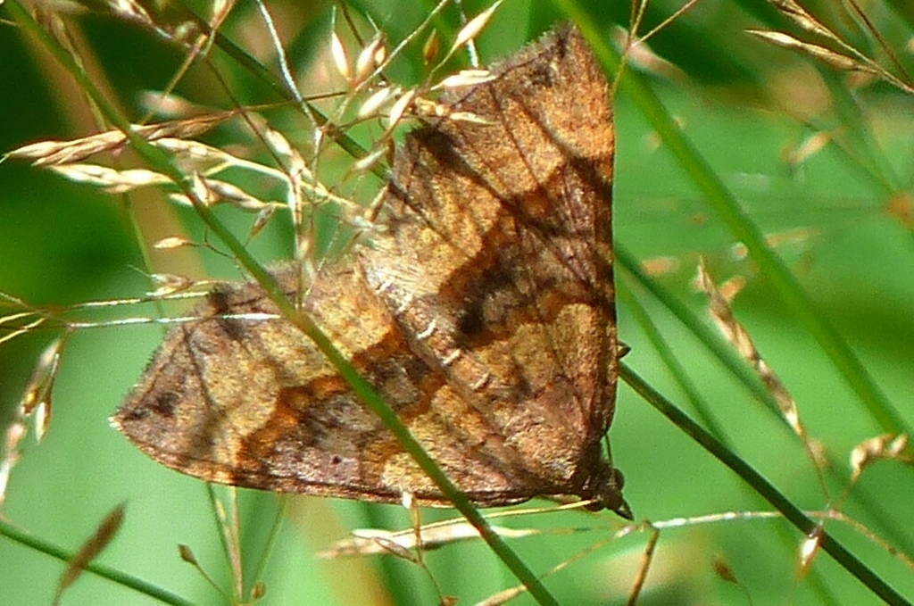 Shaded Broad Bar Moth