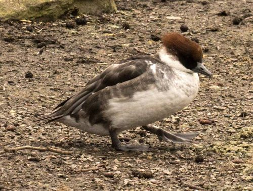 Smew, female