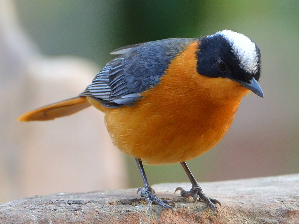 birds chat Welcome to birdchat this site is for beginner birdwatchers, advanced birders or just the curious strange bird in your backyard or interested in starting this fascinating hobby.