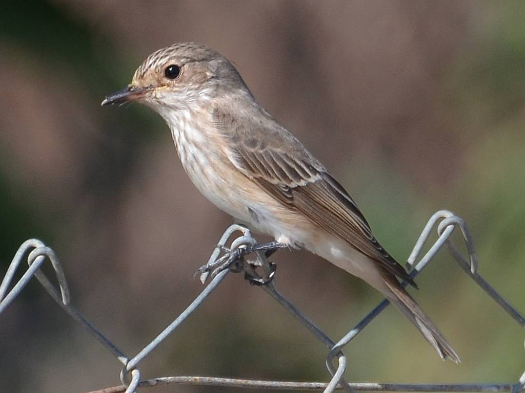 Flycatchers, Warblers and Wasps on a hot, dry day